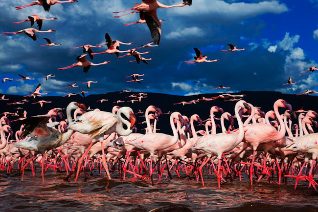 Lesser Flamingos by Martin Harvey