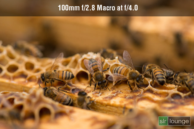 100mm Macro f/2.8 on honey bees on Sony A99 by Joe Gunawan | fotosiamo for SLR Lounge