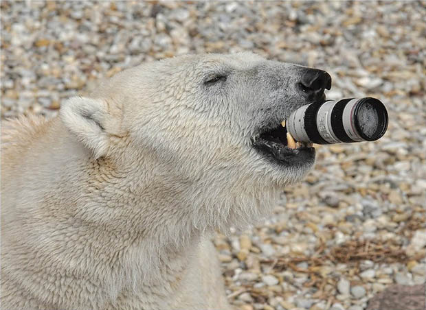 Polar Bear Canon 70-200mm lens 1
