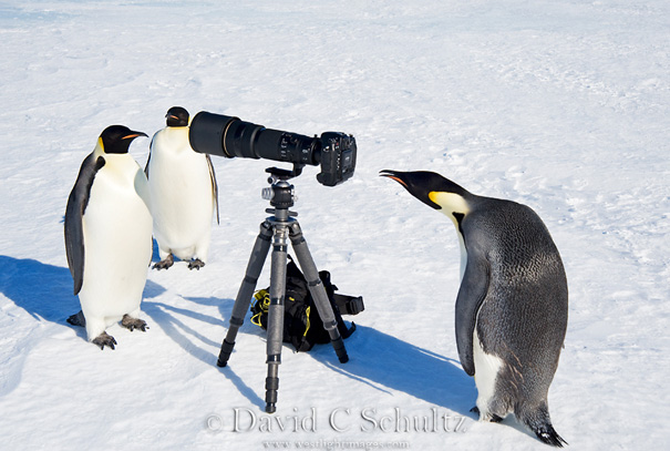 Penguin Paparazzi by David C Schultz